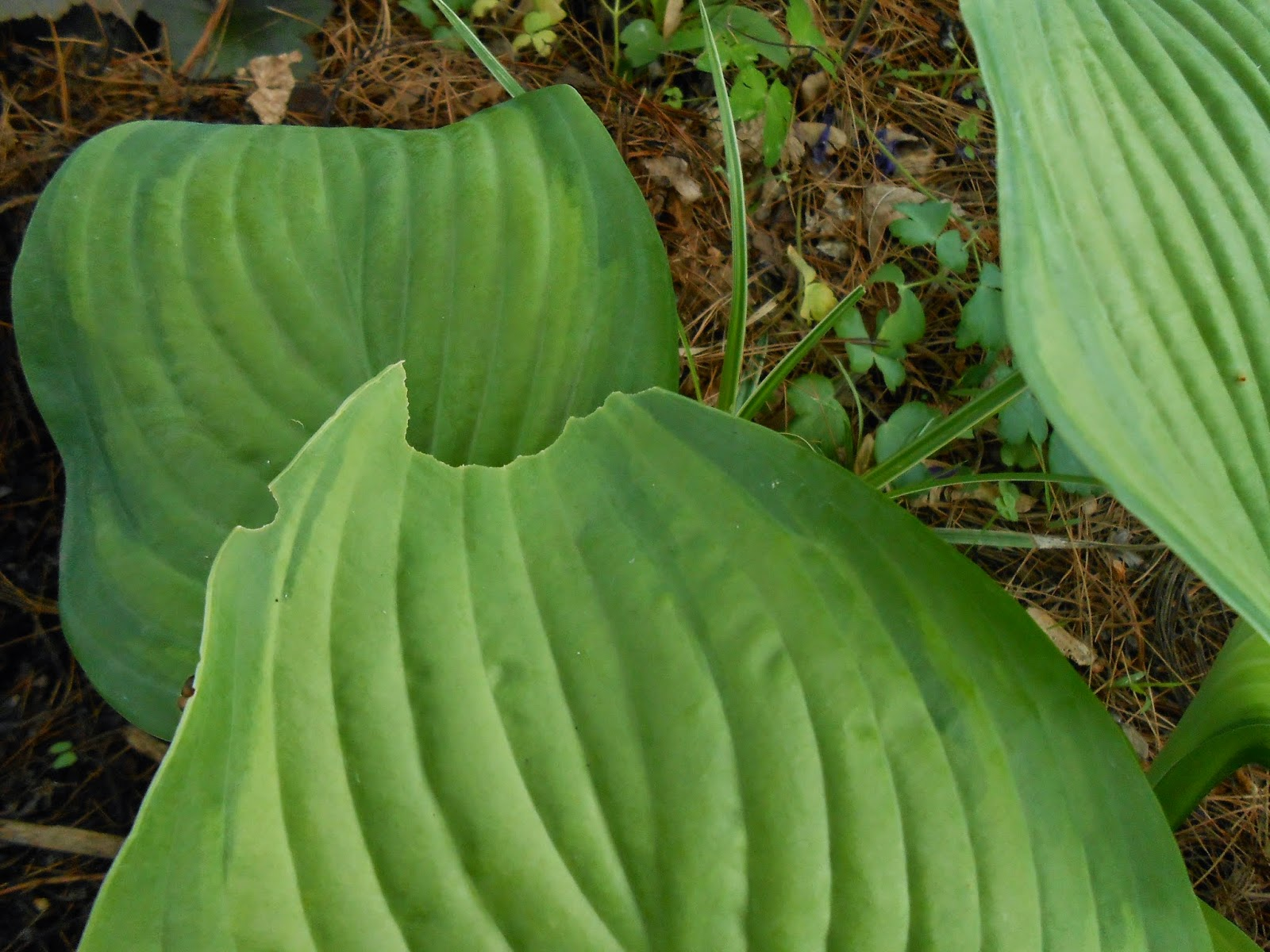 Sproutsandstuff Holes In Hosta Leaves It Might Not Be Who You Think