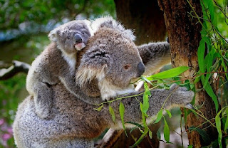 koala have fingerprints that same as people