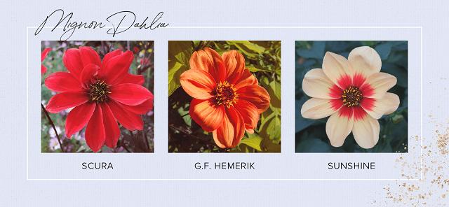Gambar bunga dahlia mignon