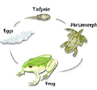 perbedaan metamorfosis sempurna dan tidak sempurna beserta contoh,perbedaan metamorfosis sempurna dan tidak sempurna pada insecta,tabel perbedaan metamorfosis sempurna dan tidak sempurna,