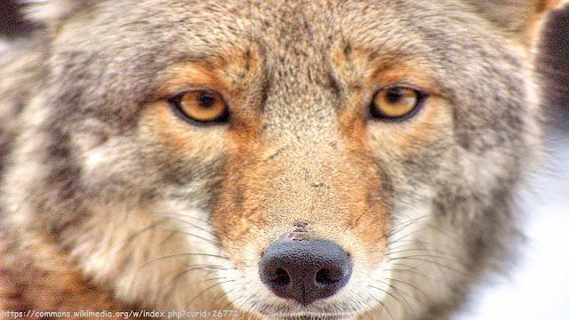 Coyotes Barking and Howling