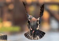 Speckled Pigeon Landing Woodbridge Island Image Copyright Vernon Chalmers