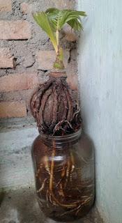 gambar bonsai kelapa hidrococo