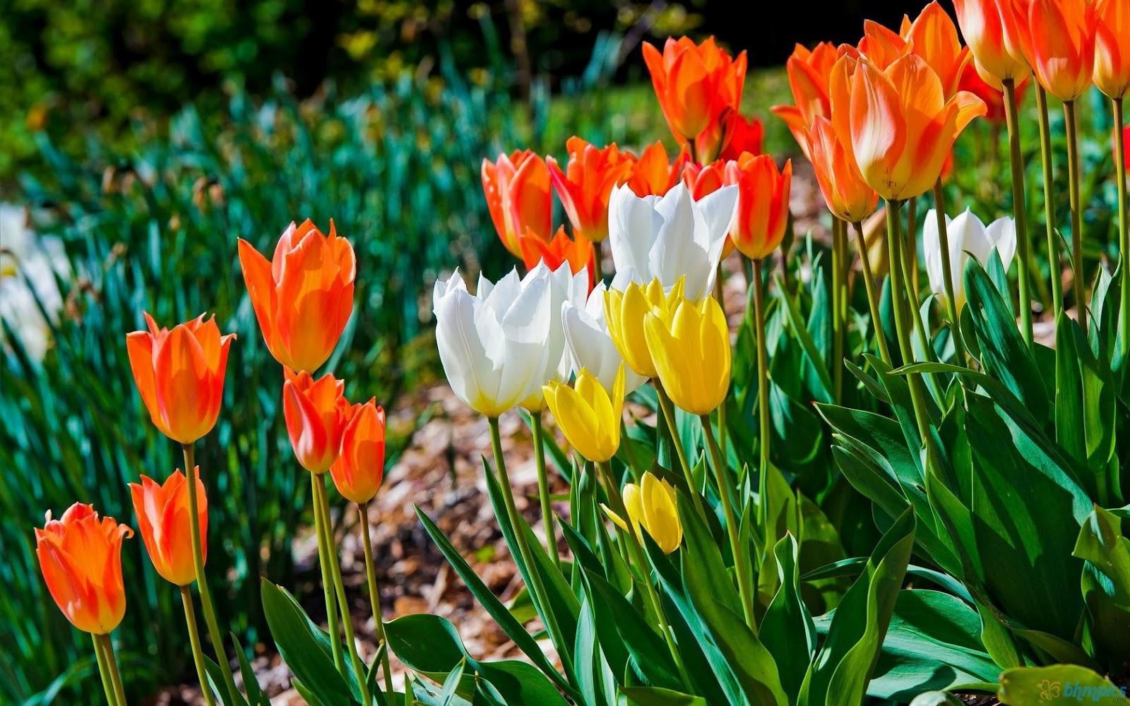 tulips garden wallpaper - photo #16