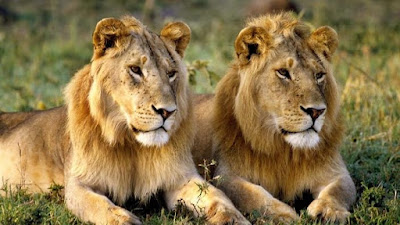 Asian Lion images | Lion Hd wallpaper | lion images