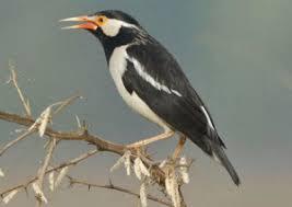 Suara Kicau Terbaik Burung Jalak Suren Gacor UD Juara Nasional Full Isian