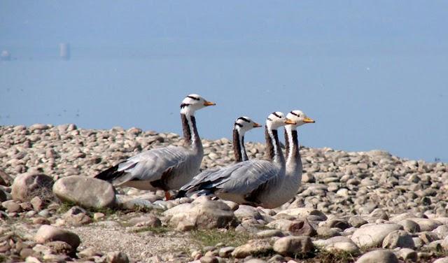 पौंग झील के किनारे मृत पाए गए 750 प्रवासी पक्षी: अलर्ट हुआ विभाग