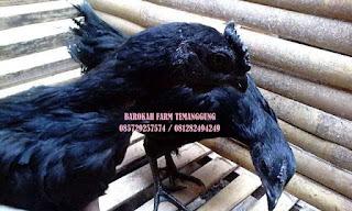 Ayam Cemani Temanggung