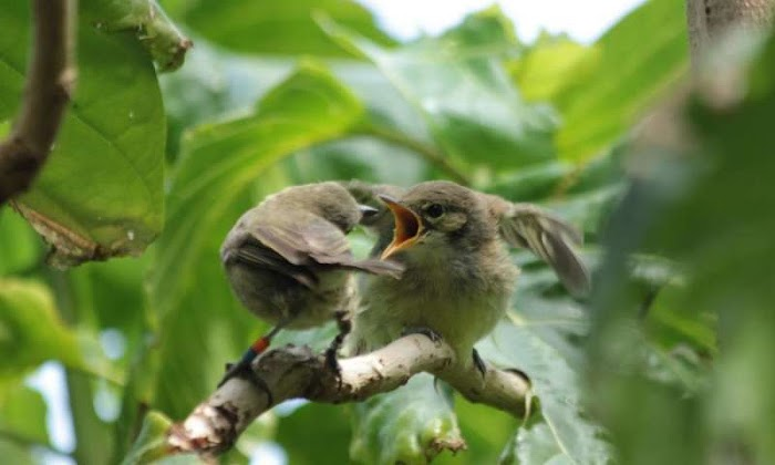 Birds without own brood help other birds with parenting