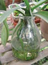 Gambar Salah satu stoples kaca sebagai wadah hidroponik