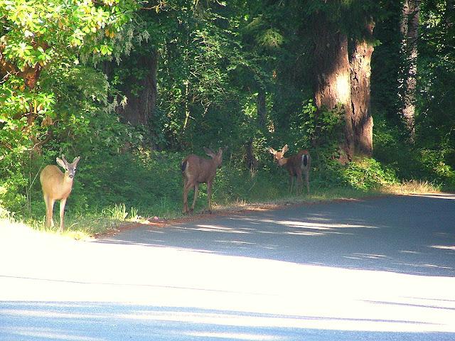 Anacortes City deer