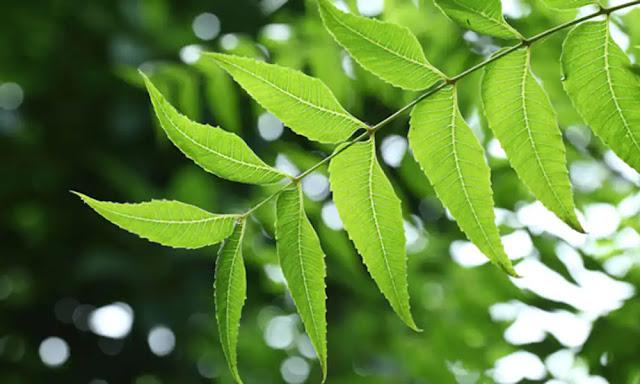 यह पेड़ है लाख बीमारियों की एक दवा, विदेशों में भी है इसकी बहुत मांग