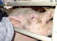 maiale chiuso seviziato