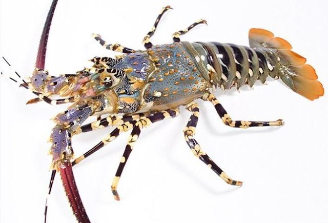 Panulirus Ornatus - Mengenal Lobster Air Laut Dan Cara Budidayanya