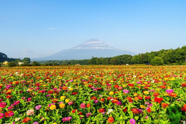 富士山と百日草(ジニア)~花の都公園