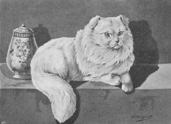 Chinese Lop Cat