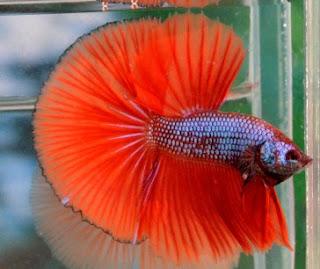 Cara Mempercepat Mutasi Ikan Cupang Kesayangan Anda Ikan Dan Laut
