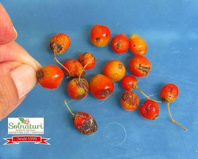 Myrceugenia glaucescens frutos