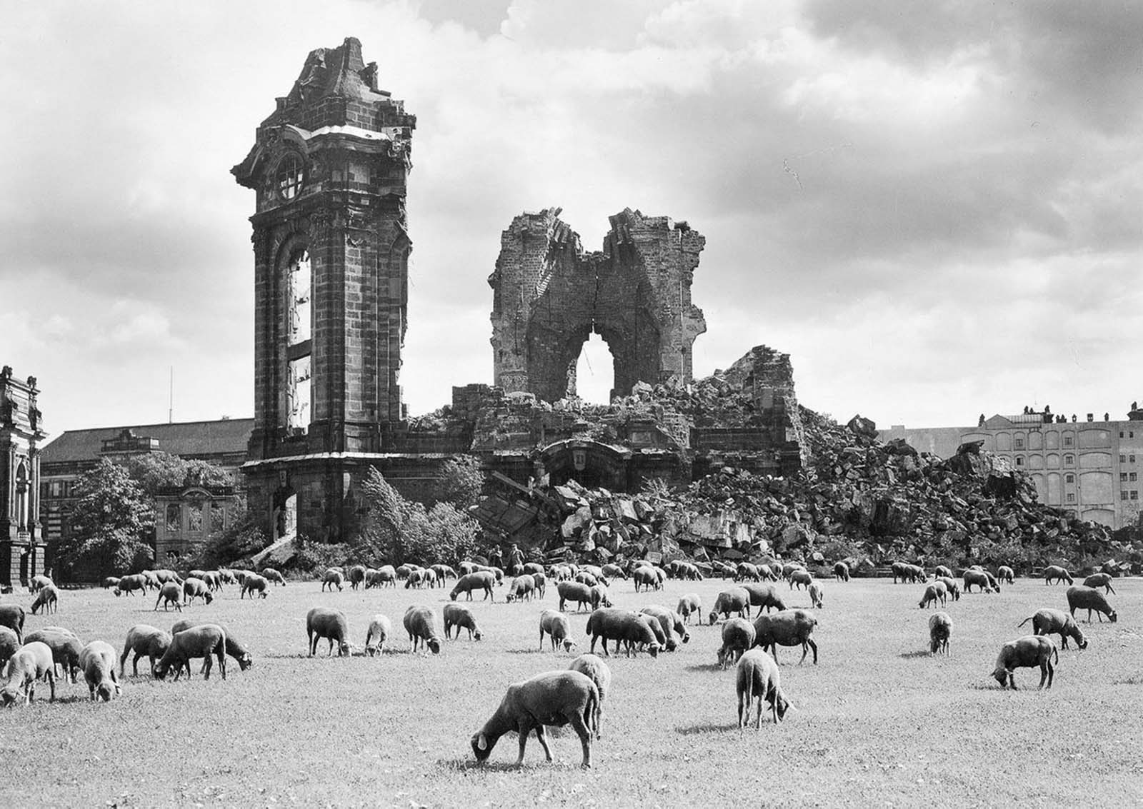 Sheep graze near the ruins of the Frauenkirche. 1957.