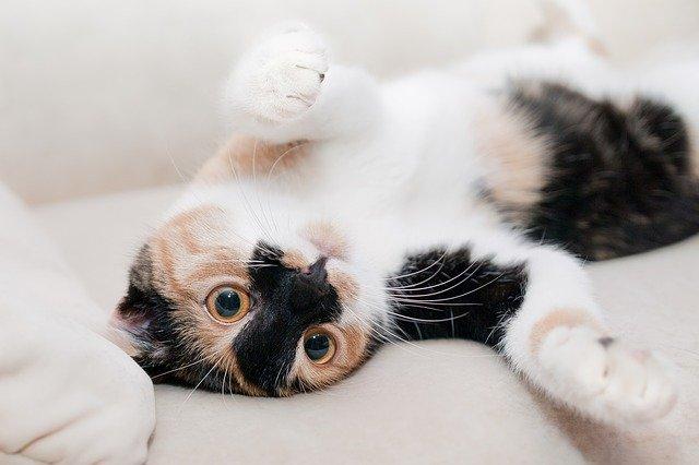 Pengertian Kucing Mix Dome dan Ciri Cirinya Lengkap