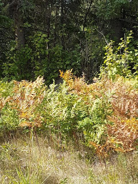 ferns in a field in Fall in Slate River Valley.