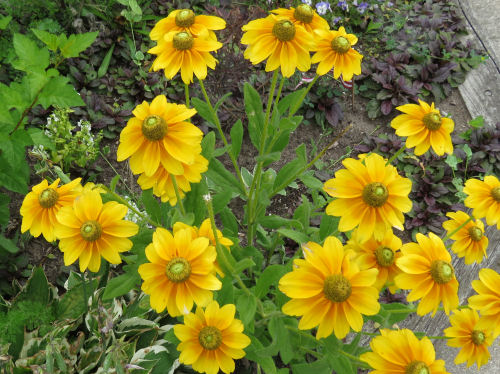 golden coneflowers