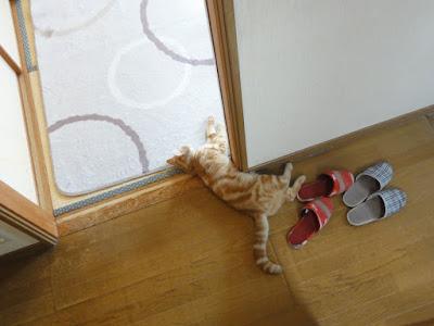 廊下と和室の境に寝るねこ