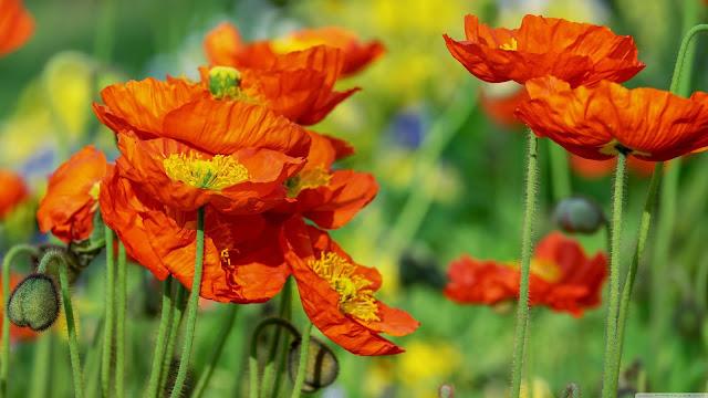 Iceland Poppies Orange Flowers Field-wallpapers (3840x2160)