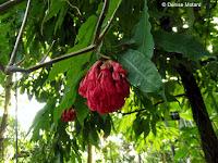 Brownea ariza, a jungle plant - Kyoto Botanical Gardens Conservatory, Japan