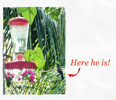 hummingbird-at-feeder