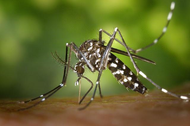 komar tygrysi denga zika malaria żółta febra