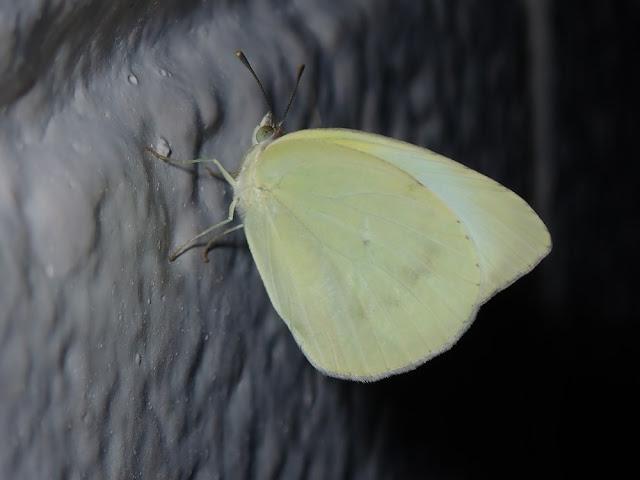 Kricogonia lyside