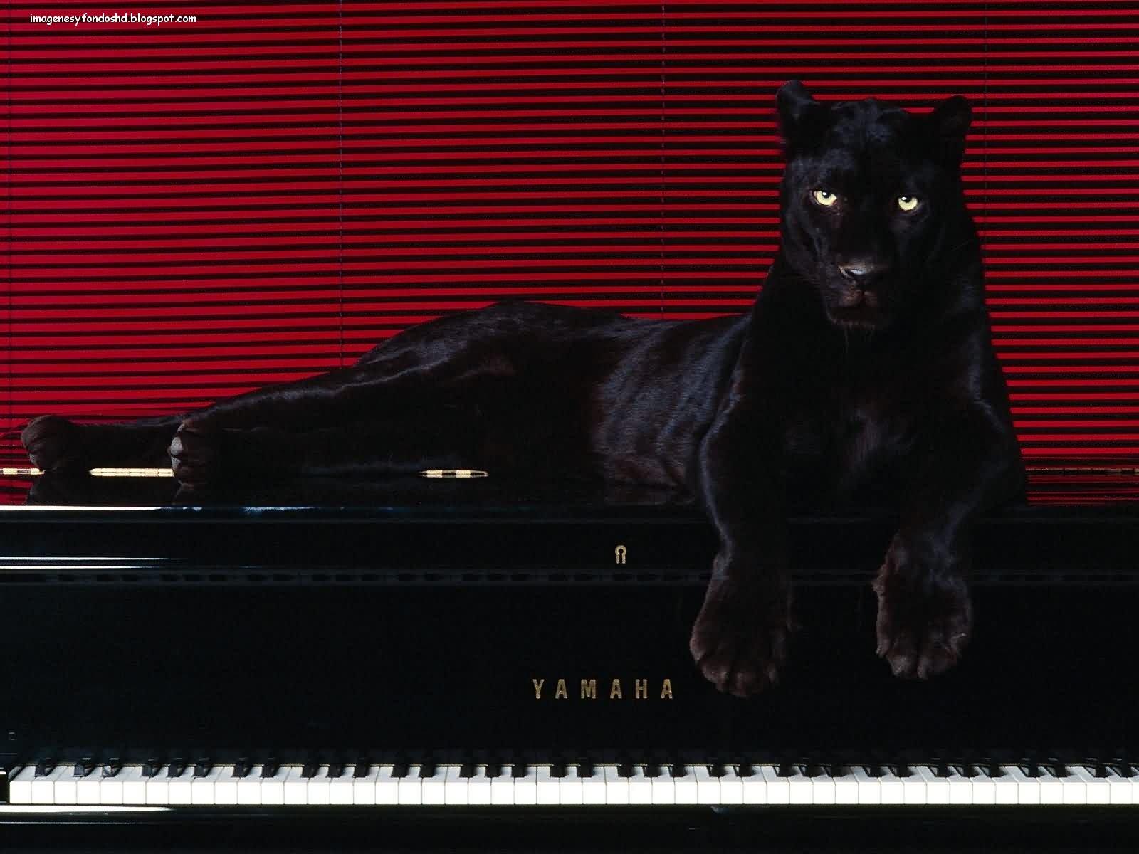 Im 225 Genes Y Fondos Hd Pantera Sobre Piano
