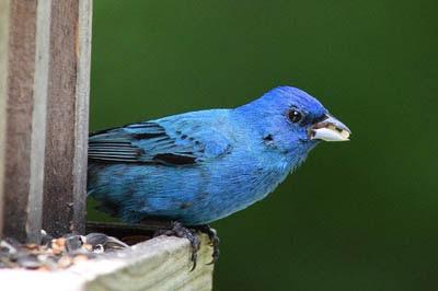 Photo of Indigo Bunting at bird feeder