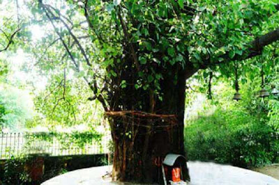How to do Peepal Puja?