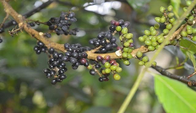 Selain sebagai Obat Diare, Buah Makasar bisa Menurunkan Kadar Gula dalam Darah