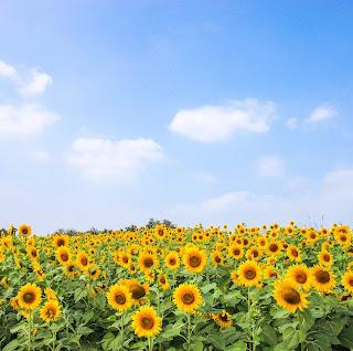 Bunga Matahari: 16 Macam Penyakit Yang Bisa di Sembuhkan