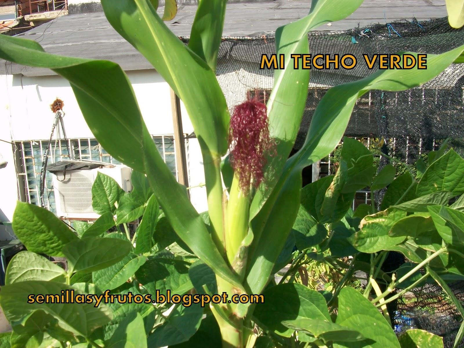 Mi techo verde maiz en macetas for Plantas en macetas