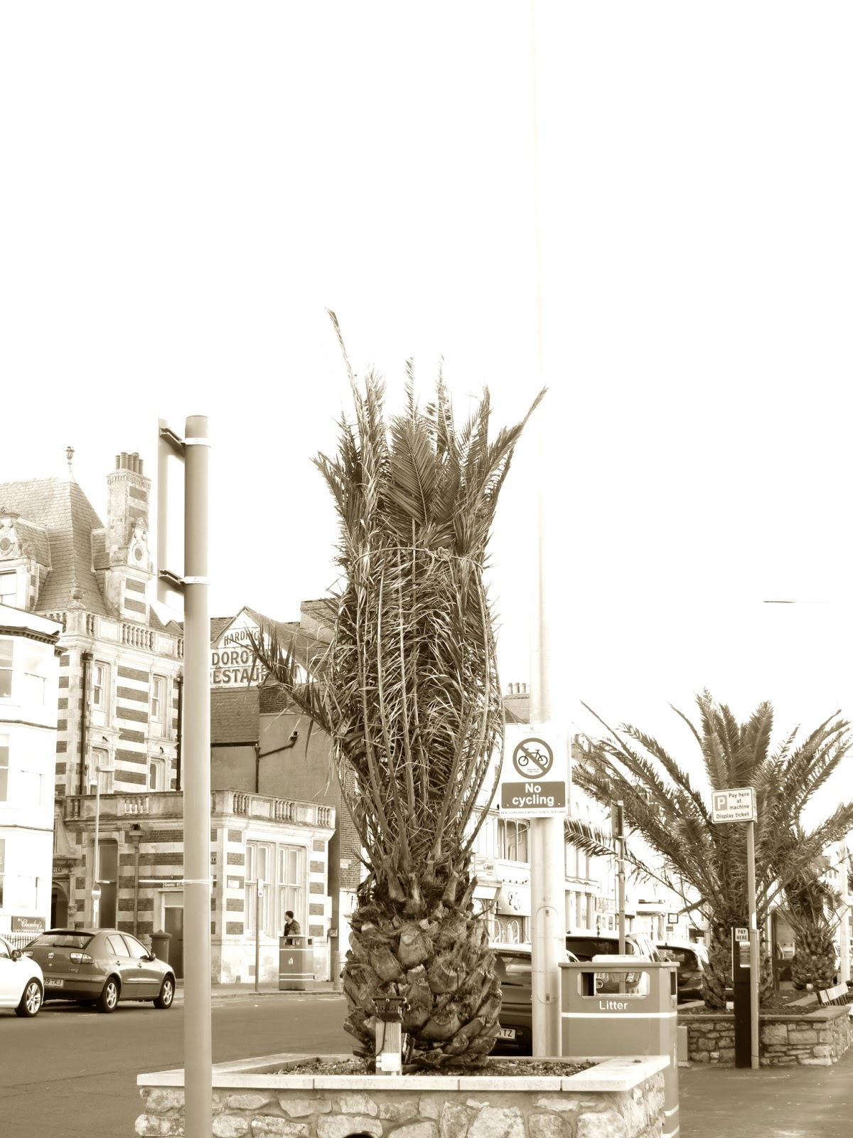 Palms or ferns tied up for winter on Weymouth Promenade. (Esplanade)