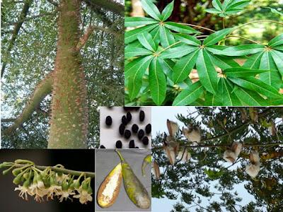 Pap beto y cuc i rboles de m xico 12 rboles de for Jardin botanico xmuch haltun
