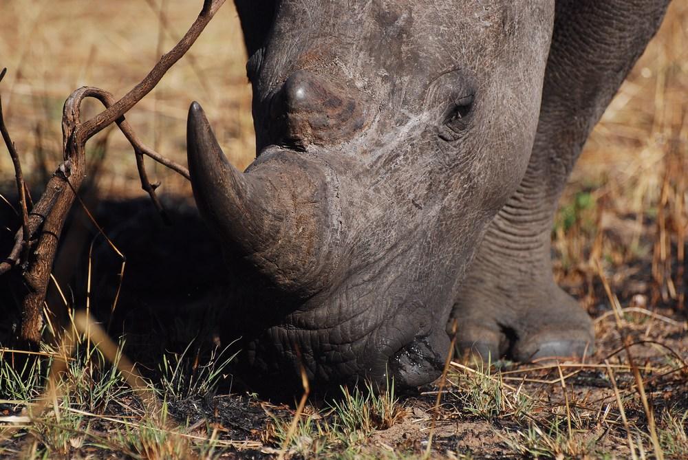 Grande place-forte de cette espèce emblématique en Afrique, le parc de Matopos permet surtout de vivre une expérience magique de faune (un de nos plus grands moments du voyage) : approcher à pied, et à quelques mètres, les rhinos…