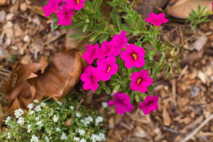 magenta flower photo