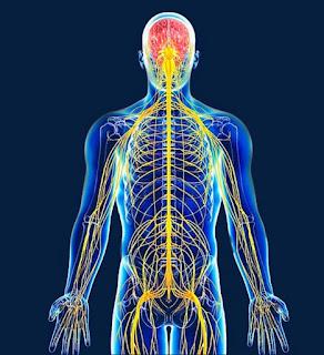 studiamo il sistema nervoso del corpo umano