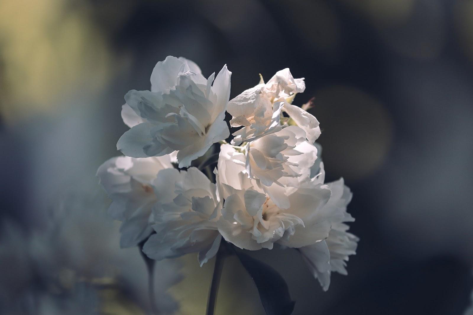 Gambar bunga Melati dan jenis-jenisnya