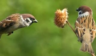Tips Cara Mengusir Burung Gereja Yang Sering Hingap Di atap rumah Secara Afektif