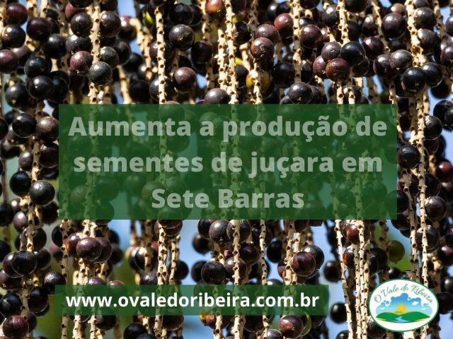 Aumenta a produção de sementes de juçara em Sete Barras