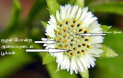 Eclipta prostrata flower