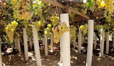 Buah anggur di Taif