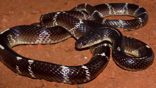 Top 10 Deadliest Snakes in the World, The Common Krait