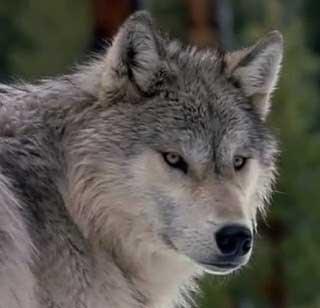A farkastól tanult az ember..